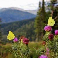 Бабочки на чертополохе :: Сергей Чиняев