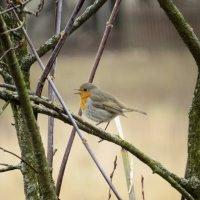 Зарянка, или малиновка (Erithacus rubecula) European robin :: Людмила Василькова