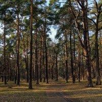 В весеннем сосновом лесу Фото №2 :: Владимир Бровко