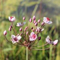 Цветок на Двине :: Мария Алейникова