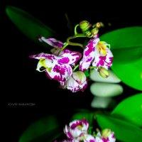 Орхидеи :: Juli Chaynikova