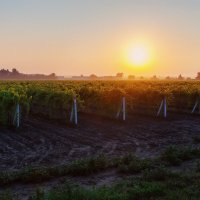 Утро на виноградных плантациях :: Алена Бадамшина