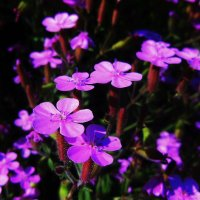цветочки :: Viktorija Minajeva
