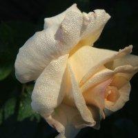Краса  кремовой королевы сада! :: Евгений БРИГ и невич