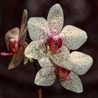 Орхидея :: Александр Яковлев
