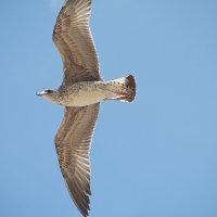 Чайка пронзает небо голубое.... :: Swetlana V