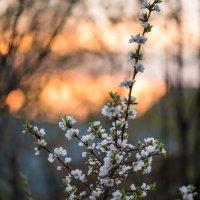 Закат, цветущая вишня :: Анна Салтыкова