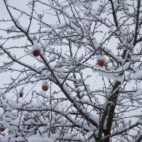 Яблоки под снегом :: НикЛеод