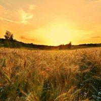 Пшеничное поле... :: Ирина Жеребятьева