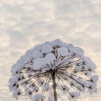 Борщевик зимой прекрасен :: юрий