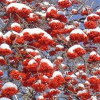 Рябина в январские морозы :: Мила Бовкун