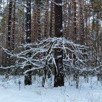 белый страж леса :: Александр Прокудин