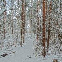 сосновые перелески...тропинки лесные.. :: Михаил Жуковский