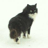снежный кот :: Михаил Жуковский