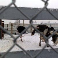 страусы в нашей зиме :: Александр Прокудин