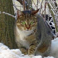 снежный кот :: валя