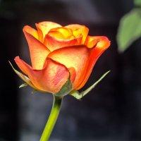 roze :: Peteris Kalmuks
