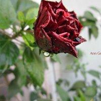Китайская Роза :: Анна