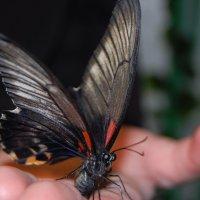 Бабочка красавица :: Ann