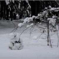 в лесу родилась ёлочка - 2 :: sv.kaschuk