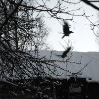 Вороны. :: сергей лебедев