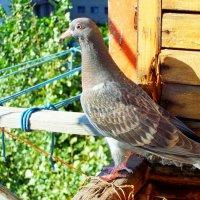 молоденький голубь :: Алла Лямкина