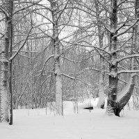 После снегопада (чб вариант) :: Елена Перевозникова