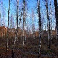 березняк без листьев :: Александр Прокудин