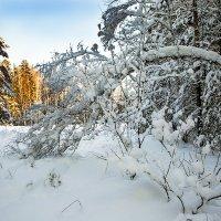 Хлопковый лес. :: Александр Рейтер