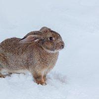 Кролик и снег :: Ирина Kачевская