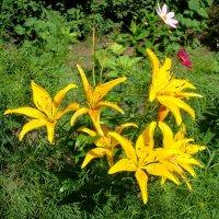 Солнечные лилии :: Стас Борискин (Stanisbor)