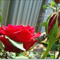 Розы на даче :: Лидия (naum.lidiya)