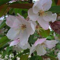 Яблоневый цвет . :: Мила Бовкун