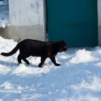 Чёрный кот на белом снегу. :: Сергей Касимов
