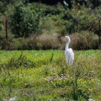 Большая белая цапля :: Elena Spezia
