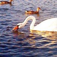 Лебедь :: Елена Савченко