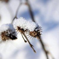 Зимняя калючка :: Tiana Ros