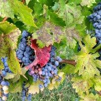Сербский виноград :: Vadim Zharkov