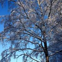 Белая береза под моим окном. :: Наталья Лунева