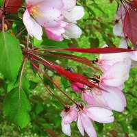 Яблоневый цвет. :: Мила Бовкун