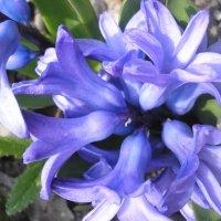 Гиацинт фиолетовый :: Булаткина Светлана