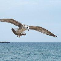 Над морем чайка кружится :: Swetlana V