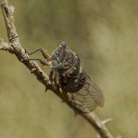 цикада - самый популярный исполнитель летнего Крыма :: Сергей Леонтьев