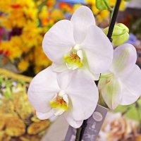 Орхидеи :: Анастасия Белякова