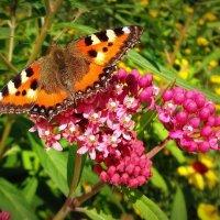 Бабочка села на нежный цветок... Прикосновения ножек легки... :: Елена Ярова