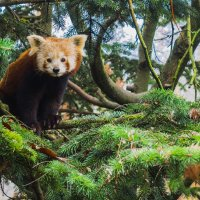 Красная панда. :: Георгий Вапштейн