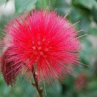 Аленький цветок :: Николай Танаев