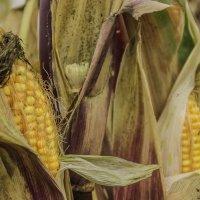 солнечная кукуруза :: Елена Бразис