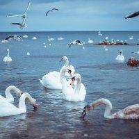 Лебеди :: Алёна Жила