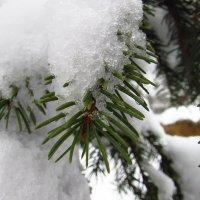 Ялинка в Снегу! :: Тоня Просова